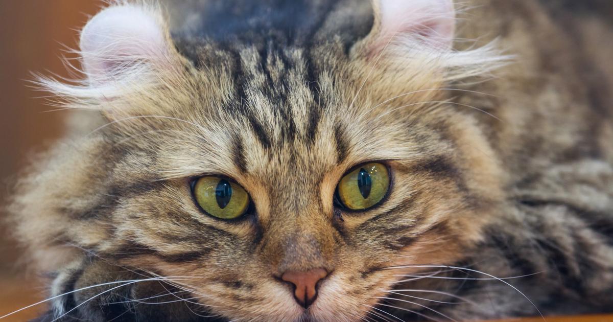 Tipi Di Razze Feline Sepicat