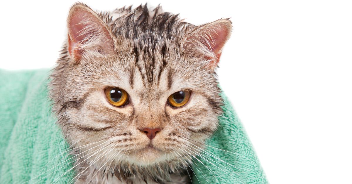 Gato mojado de agua después del baño con una toalla encima