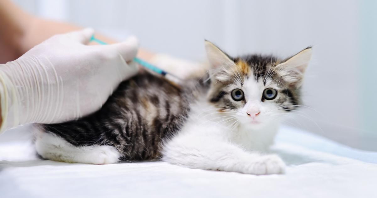 Calendario Eta Gatti.Vaccini Per Gatti Quali Sono E Quando Farli Sepicat