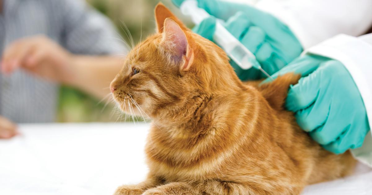 Veterinario poniéndole vacunas para gatos a un gato naranja