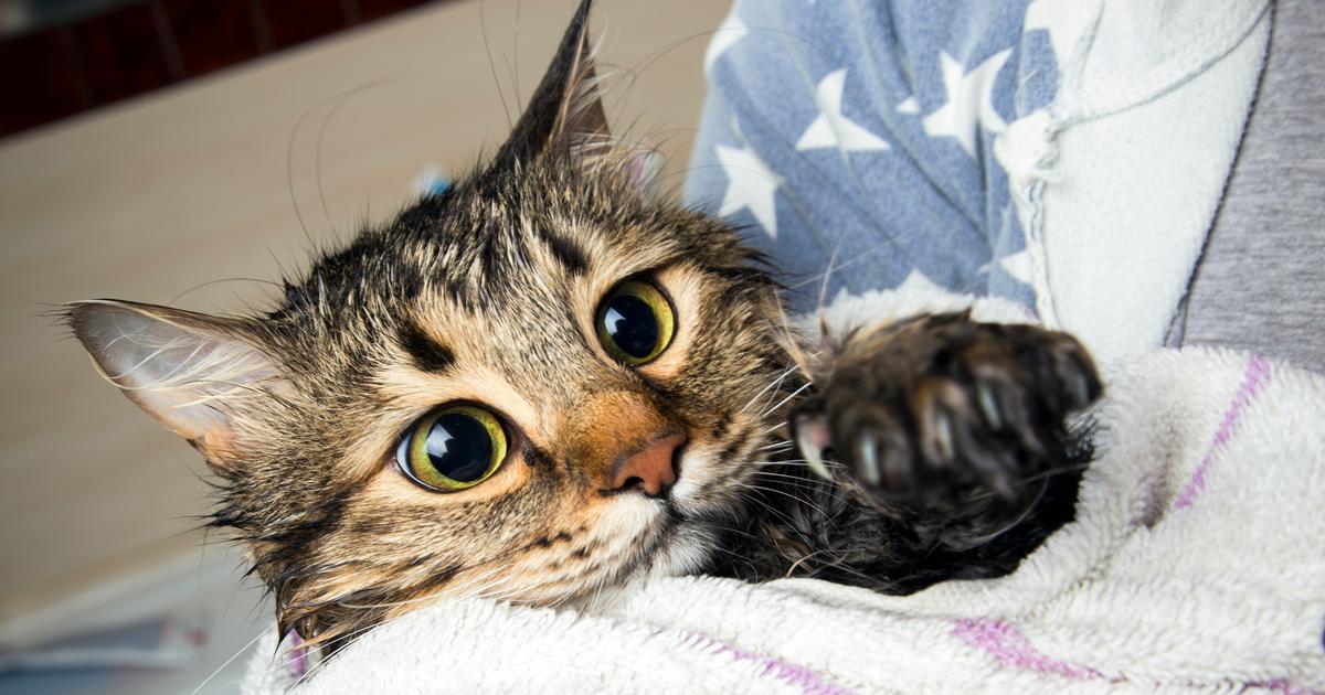 Es necesario ba ar a un gato sepicat - Banar gatos ...