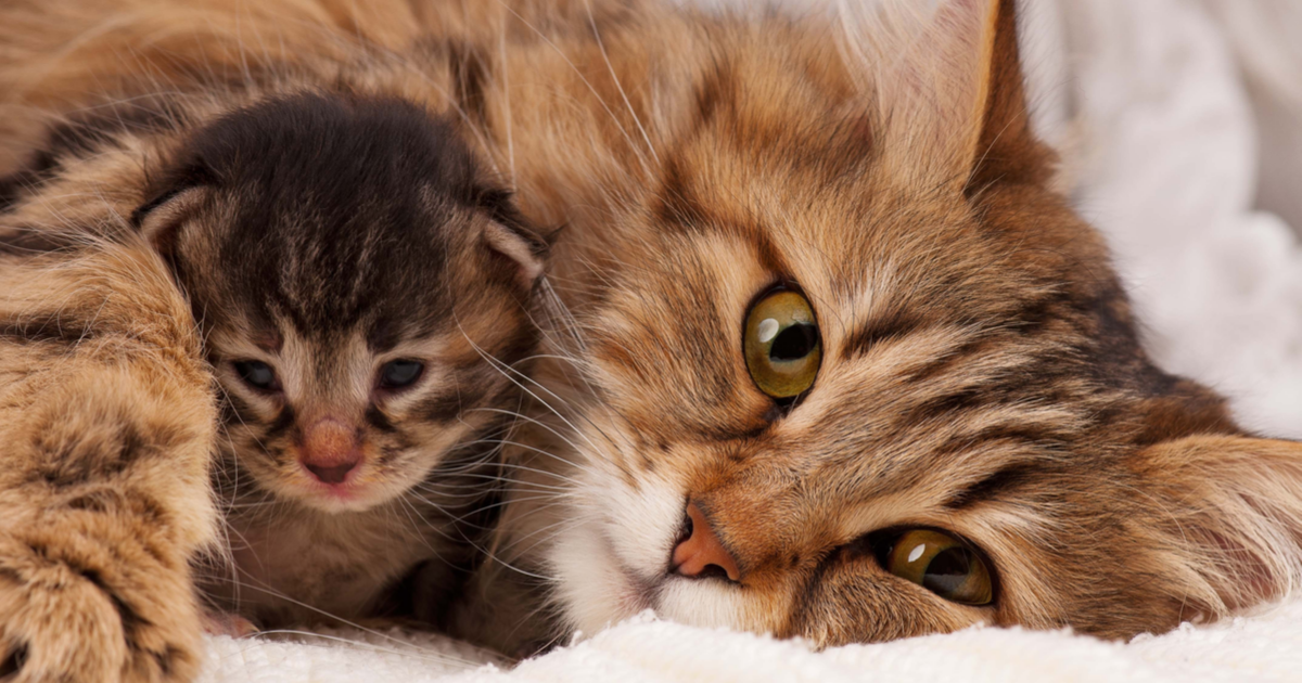 How Long Is The Pregnancy Of A Cat Sepicat