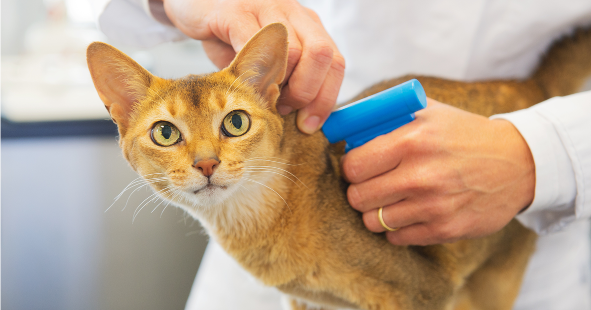 Veterinarian injecting a microchip ID in a cat